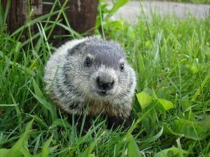 baby-groundhog