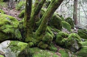mossy-trees
