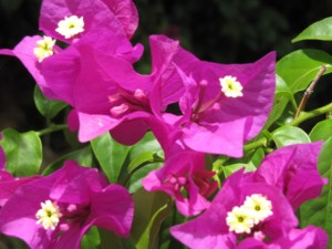 mom's bougenvilla