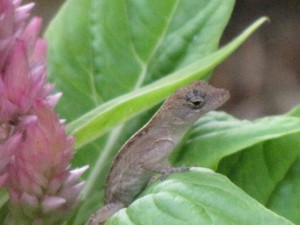 Anole in mom's garden, he was tiny and quick